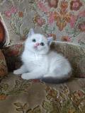 Cucciolo, femmine, Scottish Fold /...