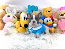 Bulldog Francese Esotico Bianco e Blue Occhi Blue  Cuccioli