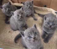 Gattini British Shorthair in vendita