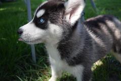 occhi azzurri cuccioli husky siberiano...