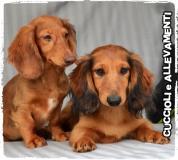 Bassotto Kaninchen e Nano Pelo Lungo Cuccioli - Allevamento/Pedigree
