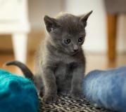 Gattini blu russi in vendita