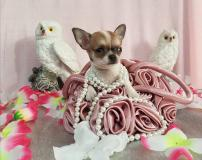 Chihuahua femmina pelo raso bianco arancio toy