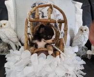 Chihuahua femmina pelo lungo bianco e...