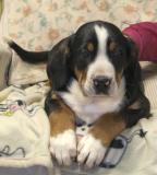 Allevamento Bovari Svizzeri Cà dal Pia vende cuccioli di Grande Bovaro Svizzero