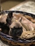 Cucciolo di bulldog francese pedigree...