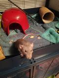 3 ratti domestici + grande gabbia e...