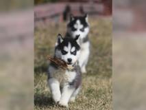 Cucciolo di Siberian Husky pronto per...
