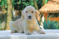 Cucciola di Labrador Retriever color miele