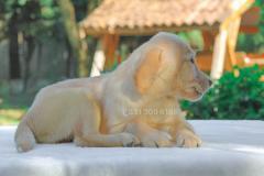 Cucciola di Labrador Retriever color...