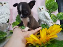 Chihuahua maschio morfologicamente...