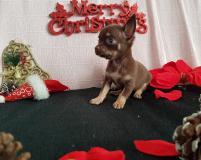 Chihuahua femmina pelo corto cioccolato focato toy occhi chiari