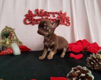 Chihuahua femmina pelo corto cioccolato...