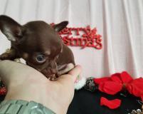 Chihuahua femmina pelo corto cioccolato focato toy occhi chiari Chihuahuafemminapelocortocioccolatofocatotoyocchichiari12.jpg