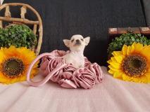 Chihuahua femmina pelo raso bianca