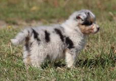 cuccioli di pastore australiano alla...