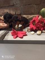 Chihuahua maschi 2 fratellini nero focato non mix Pinscher puri chihuahua micro