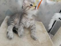Gatto siberiano ipoallergenico