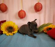 Chihuahua femmina blu con occhi chiari...