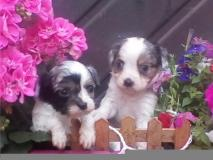 cavalier king Charles disponibili