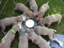 WEIMARANER splendidi cuccioli!...