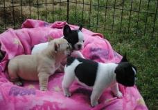 Maschio e femmina cuccioli di bulldog...