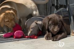 Silver, champagne, foxred e cioccolato Labrador cuccioli