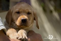 Silver, champagne, foxred e cioccolato Labrador cuccioli SilverchampagnefoxredecioccolatoLabradorcuccioli12.jpg