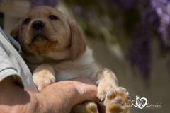 Silver, champagne, foxred e cioccolato Labrador cuccioli SilverchampagnefoxredecioccolatoLabradorcuccioli123.jpg
