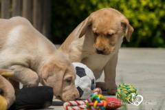 Silver, champagne, foxred e cioccolato Labrador cuccioli SilverchampagnefoxredecioccolatoLabradorcuccioli1234.jpg