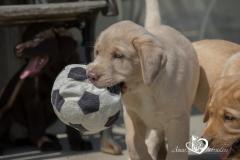 Silver, champagne, foxred e cioccolato Labrador cuccioli SilverchampagnefoxredecioccolatoLabradorcuccioli123456.jpg
