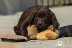 Silver, champagne, foxred e cioccolato Labrador cuccioli SilverchampagnefoxredecioccolatoLabradorcuccioli1234567.jpg