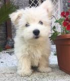 west highland white terrier westhighlandwhiteterrier12.jpg