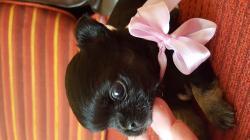 Chihuahua femmina con pedigree