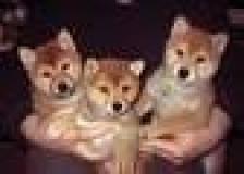 Cuccioli di shiba inu maschio e femmina