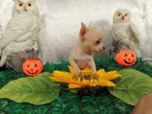 Chihuahua maschio colore miele minuscolo
