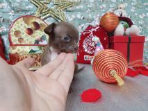 Chihuahua maschio pelo corto totalmente cioccolato occhi chiari Chihuahuamaschiopelocortototalmentecioccolatoocchichiari.jpg