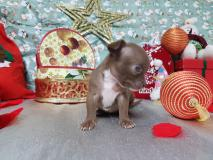 Chihuahua maschio pelo corto totalmente cioccolato occhi chiari Chihuahuamaschiopelocortototalmentecioccolatoocchichiari1.jpg