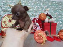 Chihuahua maschio pelo corto totalmente cioccolato occhi chiari Chihuahuamaschiopelocortototalmentecioccolatoocchichiari12.jpg