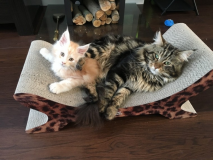 Gattini Maine Coon in vendita