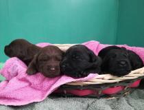 Cuccioli labrador neri e chocolate