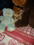cuccioli di chihuahua meravigliosi