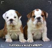 Bulldog Inglese Cuccioli - Allevamento/Pedigree