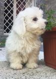 cuccioli di mini maltese