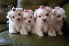 Regalo adorabili cuccioli  Malteser