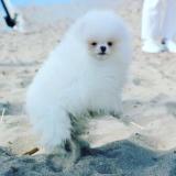 Spitz di Pomerania maschio bianco