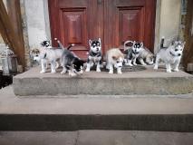 Il bel cucciolo di Husky è alla ricerca di una casa amorevole