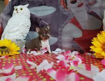 Chihuahua femmina cioccolato focato