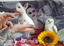 chihuahua femmina pelo raso bianco cioccolato con occhi chiari bellissima e molt