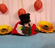 Chihuahua femmina pelo lungo Black...